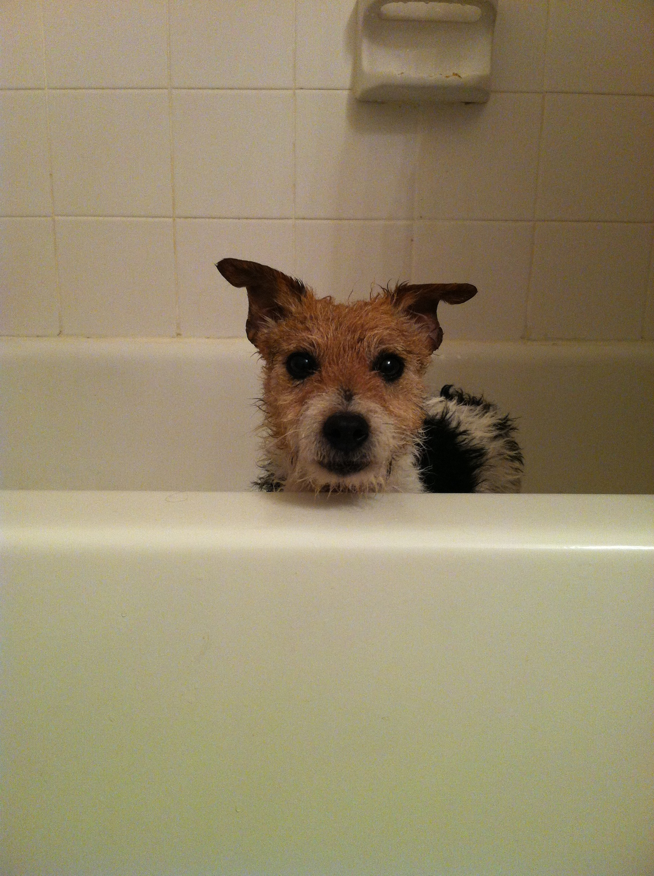 Wet dog in a bathtub peaking over the edge and looking at the viewer